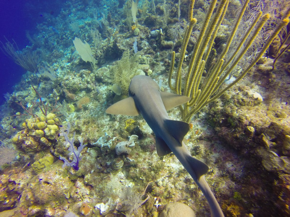 nurse shark2 (1 of 1).jpg