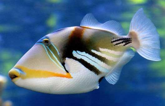 Picasso-triggerfish-reef-tank_1400x.jpg