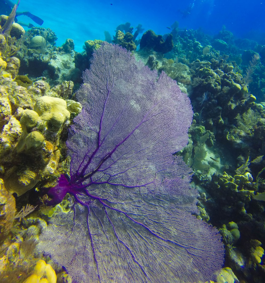 Purple sea fan (1 of 1).jpg