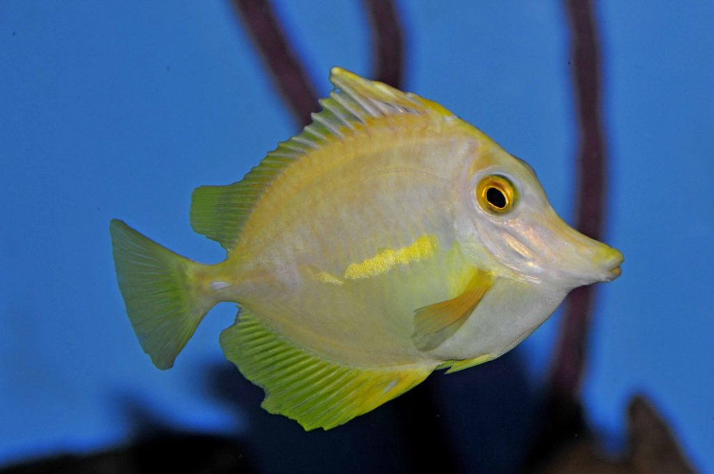 HLLE (Head & Lateral Line Erosion) - Marine Fish Diseases ...